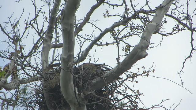 hawk parents bring home a mouse