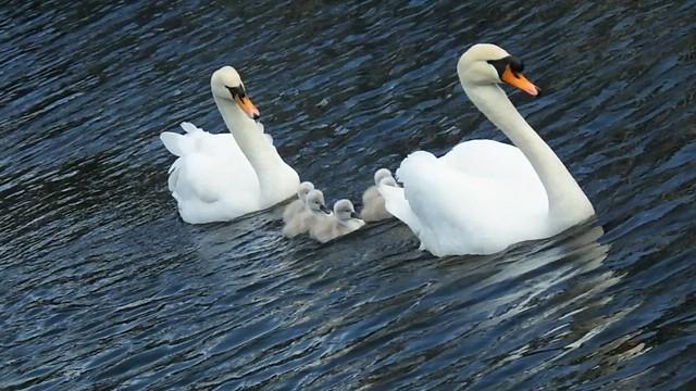 Vid - Swan Family
