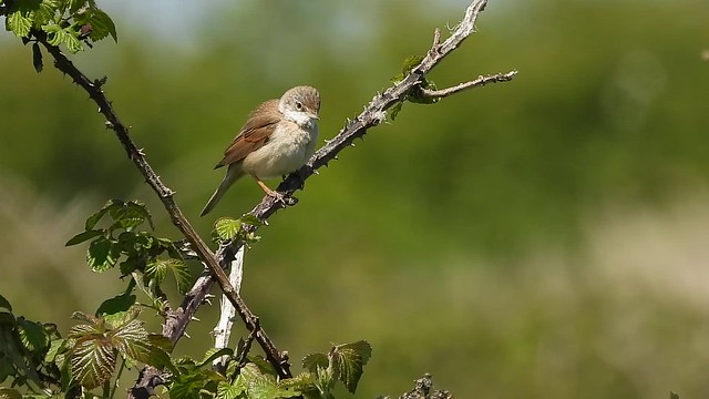 Whitethroat, LSC field, May 6 2020, P1