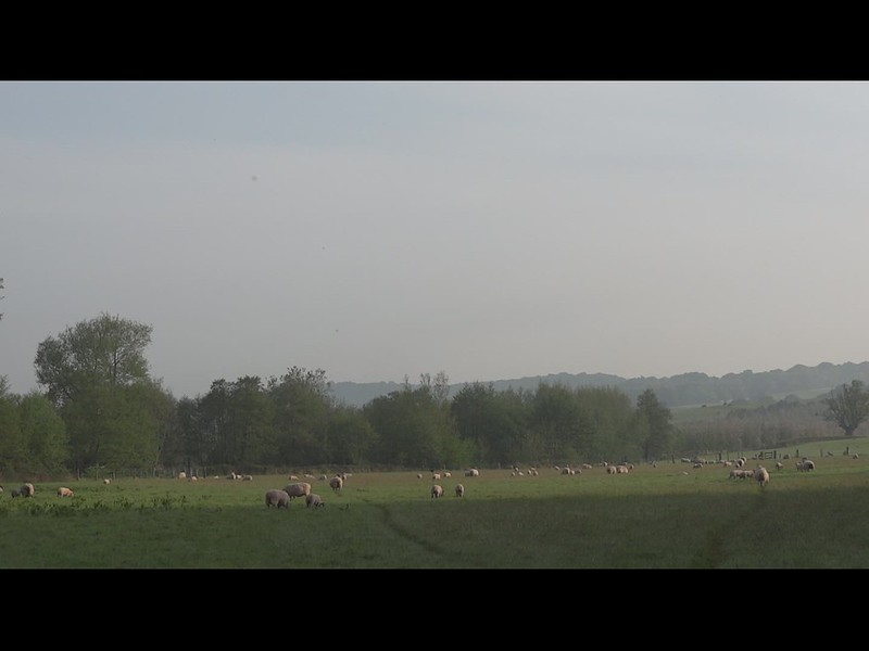 Morning! Sheep and birdsong, Riverdale (video, 11s)