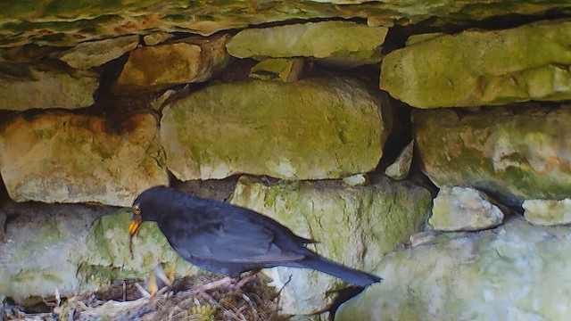 Musträsta pesa / Blackbird Nest
