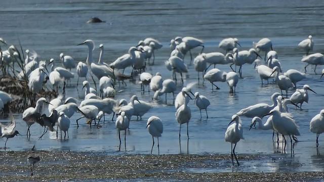 Snowy egrets and shorebirds