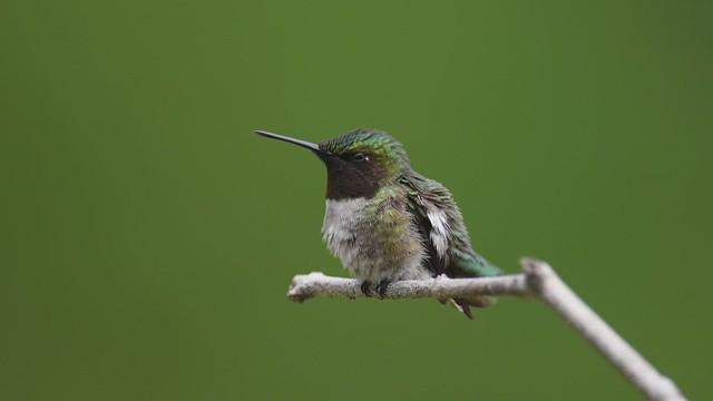 Life of a Hummingbird