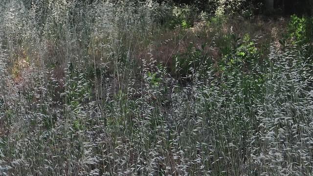 Weeds Blowing