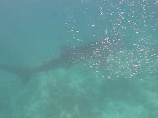 Whale sharkk in the Maldives
