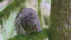 Barred owl preening