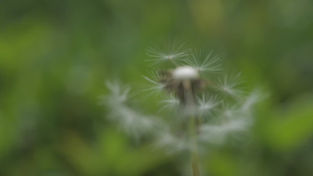 Dandelion, birdsong and tree cutter