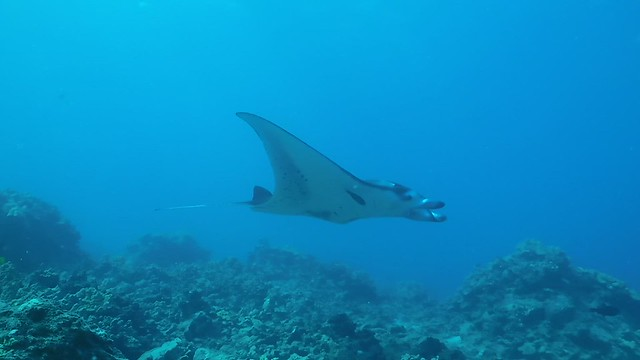 Manta and saddle wrasse