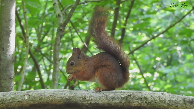 Red Squirrel and Great Spotted Woodpeckers. 19.06.2020