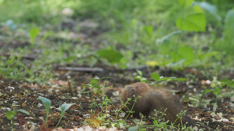 2020-06-21_Hokkaido Univ. Botanic Garden_Sciurus vulgaris orientis