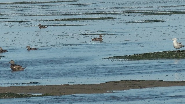 More water, more eiders ... Waddensea nature amazes