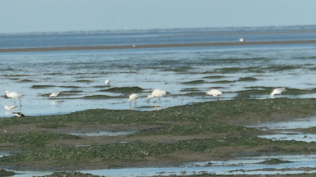 Spoonbills find their way as the waterlever changes, Waddensea