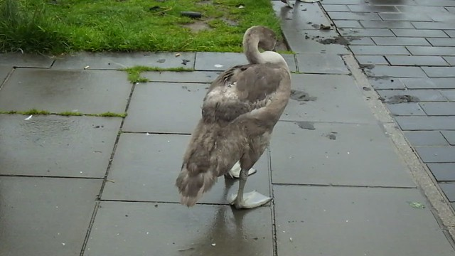 Vid - Swans Taking a Stroll
