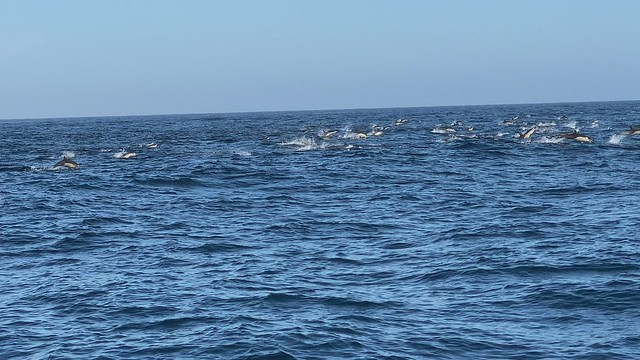 An amazing grand finale with all these common dolphins on our 12 hours pelagic trip.