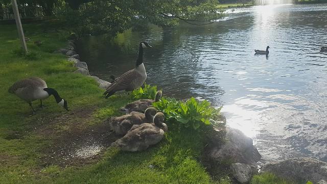juvenile Canada geese- Unga Kandagäs
