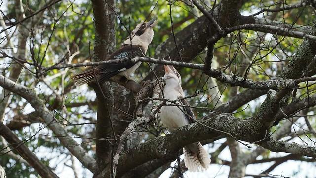 Kookaburra's going for it.
