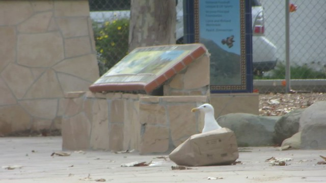enterprising seagull
