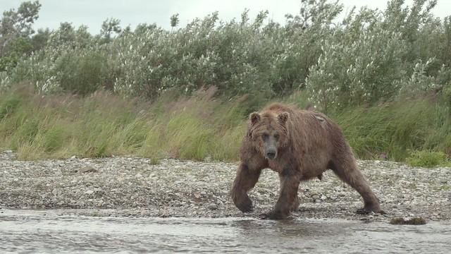 Preview - Bears of Katmai:  Big Boar Goes Fishing