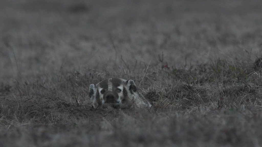 American Badger making his nightly appearance