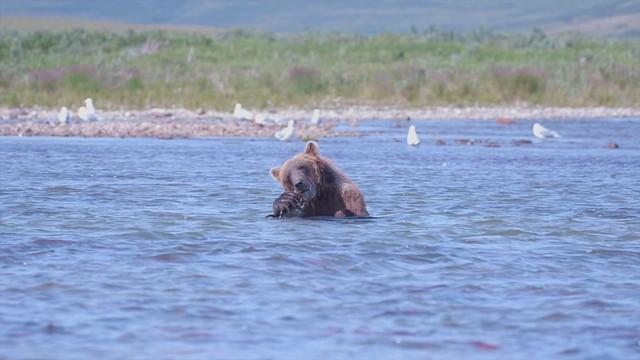 Preview - Bears of Katmai:  Brown Bear Bliss 1080 30p