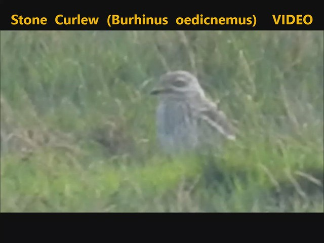 Stone Curlew (Burhinus oedicnemus) Wicklow 10-08-2020