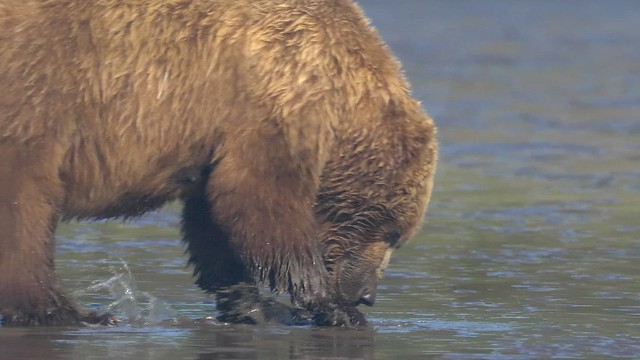 Preview - Brown Bear Mothers & Cubs:  Clamming 101