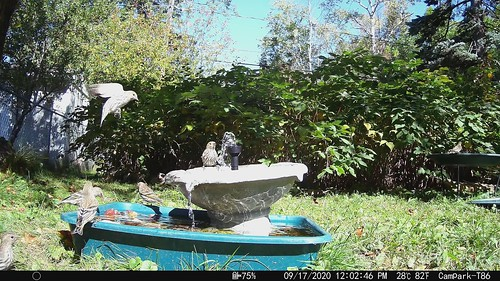 Pine Siskins at my bird bath