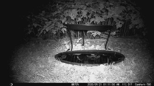 Northern Flying Squirrel at my bird bath!