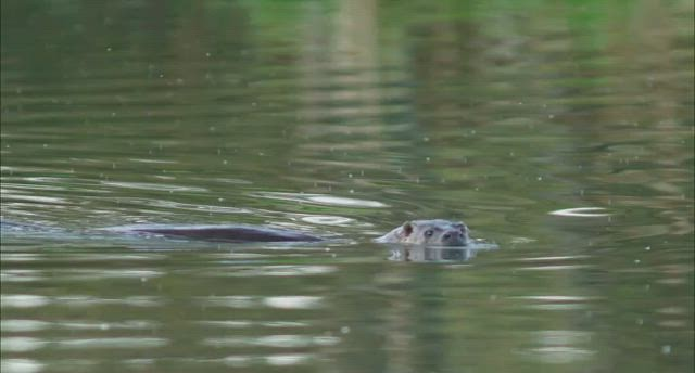 Wild Otter, Workington, Cumbria, UK 26/9/2020