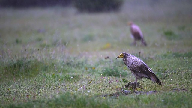 Egyptian Vultures In The Storm