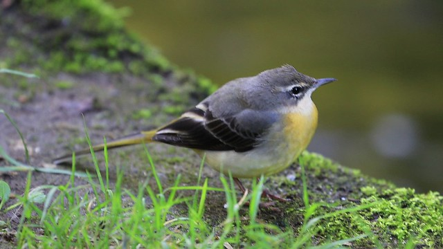 A very chilled Grey Wagtail (j)
