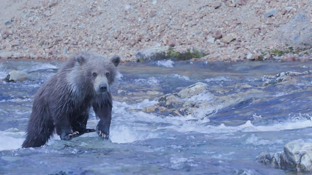 Preview - Bears of Katmai:  Cub in the Creek (In explore)