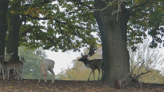 Deer Rutting in Knole Park