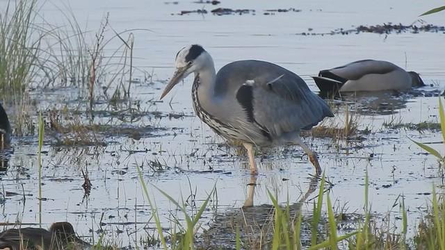 Grey Heron - Hunting at Cresswell - Video