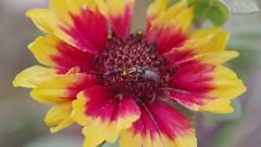 Allograpta Flower Fly