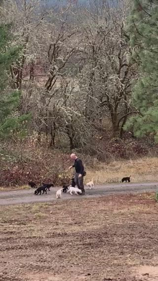 a herd of baby Labradors