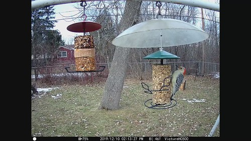 Red-bellied Woodpecker at my new feeders