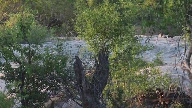 Wild Dog. Kruger National Park. South Africa. Nov/2020