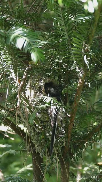 Orite à longue queue nourrissant ses oisillons
