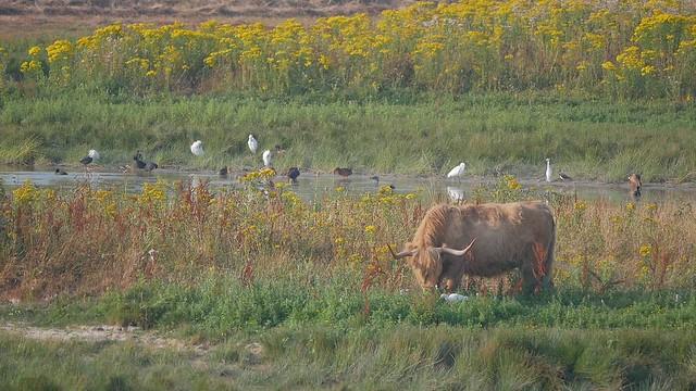 vache highland en éco-pâturage