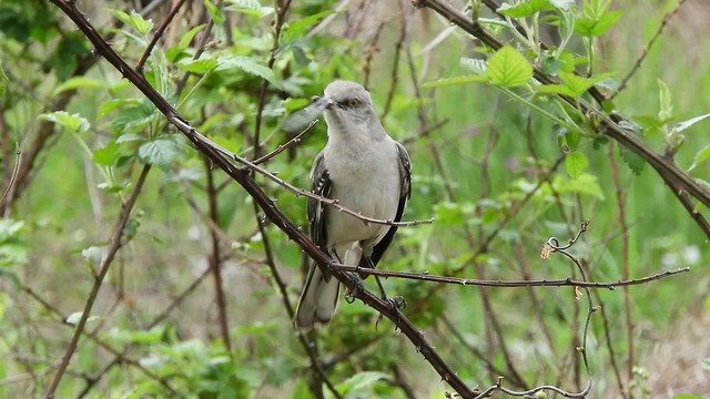 Northern Mockingbird with Teneral