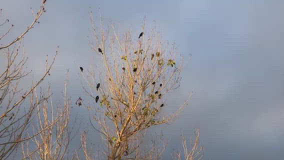 redwing blackbirds gather every night