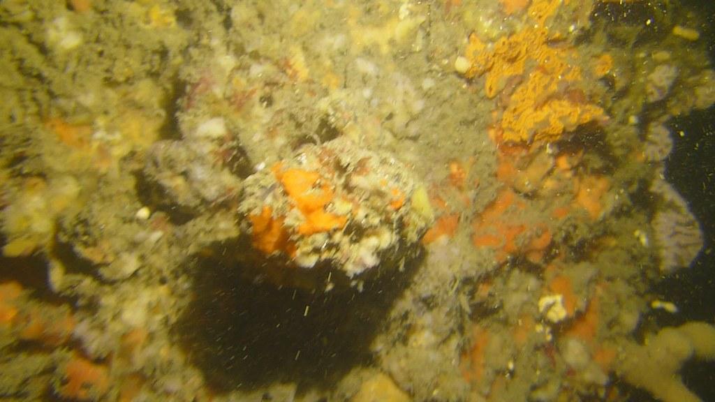 Decorator crab fallen off  2021 Feb 28 Clifton