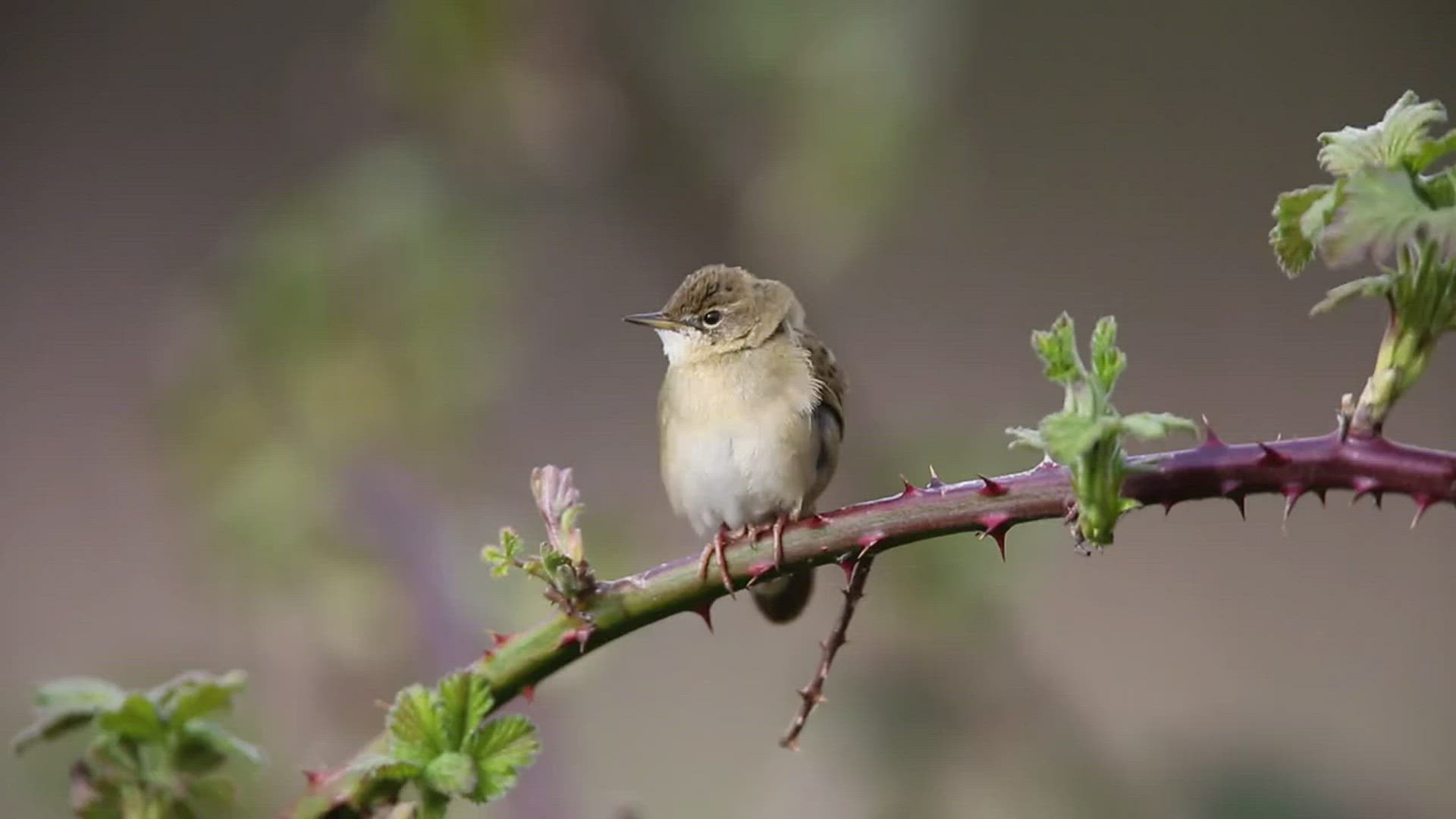 Grasshopper Warbler - dug it out from May 2013. It struggles in the wind, but the reel is piercing.