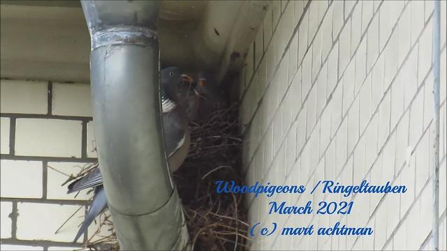 Woodpigeons / Ringeltauben
