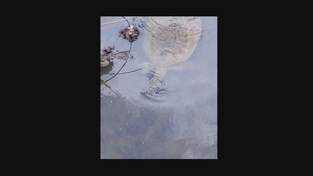 Turtle - Eastern Spiny Softshell 2b video