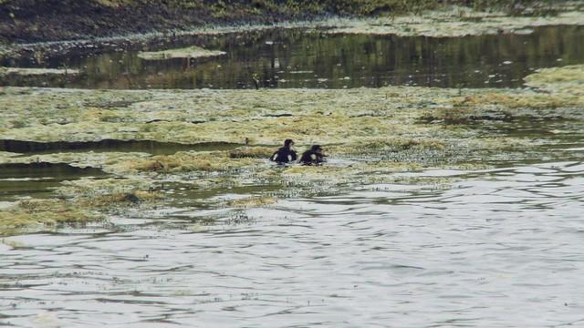 Ducklings AP pond 2