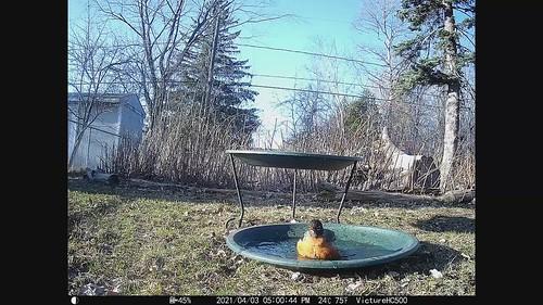 Robin at bird bath