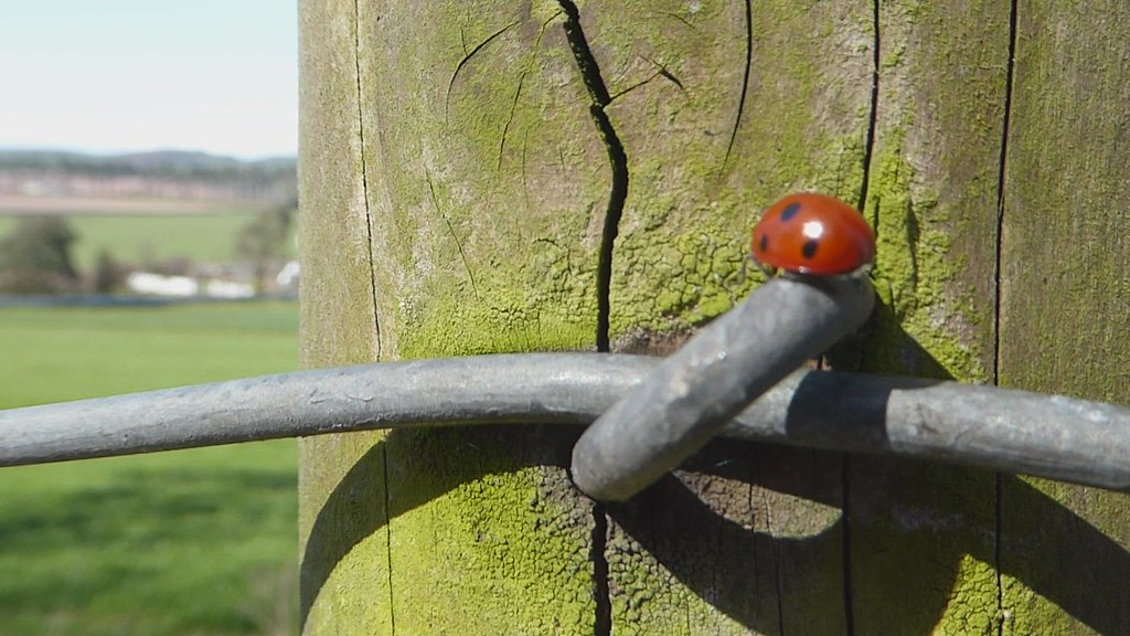 Ladybird on Fence Wire Video