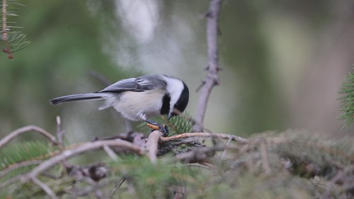 Black-capped Chickadee eating a live mealworm.